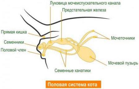 Половые органы.